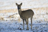 Deer in the snow, Netherlands — Stock Photo