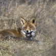 Fox lying in the grass in nature AWD area, Netherlands — Stock Photo #17463991