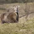 A female mouflon in natural areas AWD, Netherlands — Stock Photo