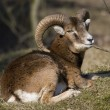 Mouflon's resting in natural areas AWD, Netherlands — Stock Photo #17464077