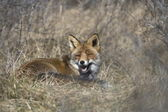 Fox lying in the grass in nature AWD area, Netherlands — Stock Photo