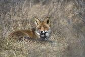Фокс, лежал в траве в природе awd области, Нидерланды — Стоковое фото