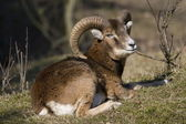 Mouflon's resting in natural areas AWD, Netherlands — Stock Photo