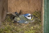 Insight into a hive of a blue tit, Netherlands — Stock Photo