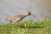 Redshank runs on a dike in the polder — Stockfoto