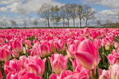 Pink tulips, Netherlands — Stock Photo