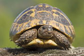 Greek tortoise in the Pirin Mountains in Bulgaria — Stock Photo