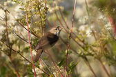 Reed warbler is in the reeds, Netherlands — Stock Photo