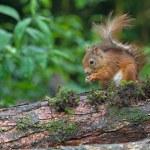 Eichhörnchen sitzt auf Baumstumpf, Niederlande — Stockfoto #49481141