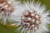 Details of an overblown dandelion, Netherlands — Stock Photo