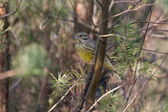 Yellowhammer sits on branch on the Kemper heide, Netherland — Stock Photo