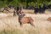Dyrehaven, Denmark: September 27, 2012 - red deer rut in Denmark — Stock Photo