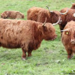 Stock Video: Highland cattle