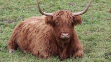 Highland cattle — Vídeo de Stock