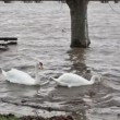 Stock Video: River Flood - two swans