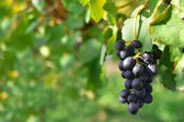 Black grapes on a vine — Stock Photo