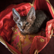 Stock Photo: Pedigreed sphynx cat
