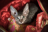 Pedigreed sphynx cat — 图库照片