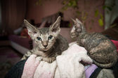Pedigreed sphynx cats — Stock Photo