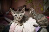 Pedigreed sphynx cats — Stock Photo