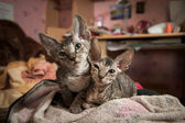 Pedigreed sphynx cats — ストック写真