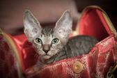 Pedigreed sphynx cat — Stock Photo