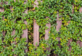 Juniper on the fence. — Stock Photo