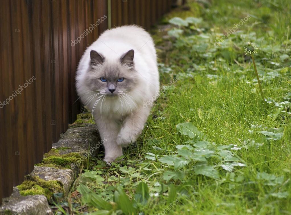 Sacred Birman cat to hunt on a walk. — Stock Photo #14802495