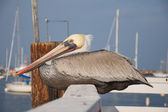 A pelican rests along a fence on a pier. — Stock fotografie