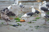 Seagull eats bread bowl on a beach — Photo