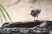 Bird drinking water from artificial rock. — Stok fotoğraf