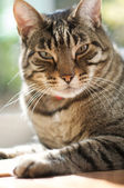 Brown tabby cat sits near a window — Stok fotoğraf