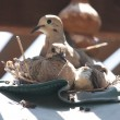 A dove sits on its nest with its two babies. — Stock Photo #18341281