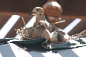 A dove sits on its nest with its two babies. — Stock Photo