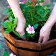 Stock Photo: Hands place pink flower in octagonal planter