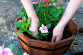 Hands place pink flower in octagonal planter — Stock Photo