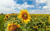Sunflowers Field. — Stockfoto