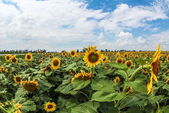Sunflowers Field. — Stock Photo
