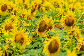 Sunflowers Field. — 图库照片