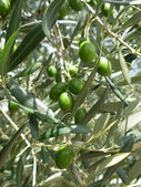 The olives — Stock Photo