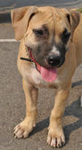 Puppy of the American Staffordshire terrier — Stock Photo
