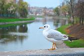 City seagull on the bridge — Stock Photo