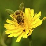 Honey Bee Closeup on Wild Yellow Flower — Stock Photo #14229649