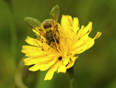 Honey Bee Closeup on Wild Yellow Flower — Stock Photo