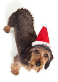 Dachshund Looking up at Camera in Santa Hat Isolated on White — Стоковое фото