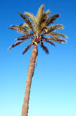 A single palm tree against a blue sky — Stock Photo