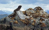 Sea lions colony, Beagle Channel, Argentina — Stock Photo