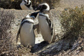 Magellanic Penguin, Punta Tombo, Argentina — Stock Photo