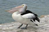 Australian Pelican, Kangaroo Island — Stock Photo