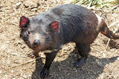 Tasmanian Devil, Australia — Stock Photo